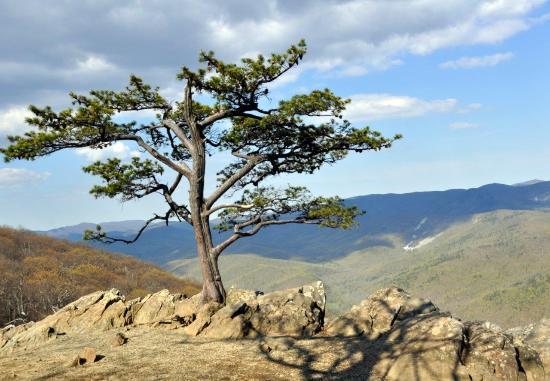 Raven's Roost Overlook : Dawns Tree at Ravens Overlook, BRP Va.