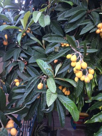 Loquats ripe for the picking outside our door.