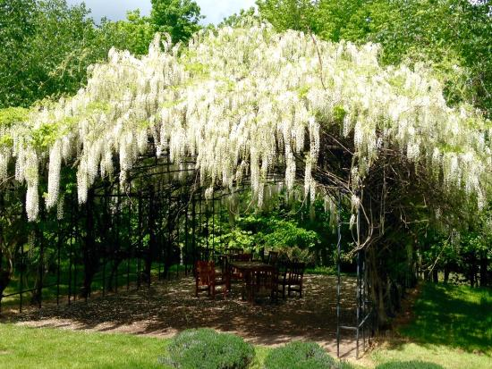 Wisteria Hanging Over The Arbor Picture Of Red Ridge Farms Dayton