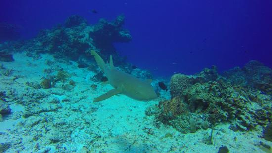 Sea Robin Cozumel: Nurse shark circling me