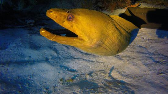 Sea Robin Cozumel: Moray eel posing.