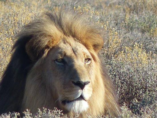 Inverdoorn Game Reserve : LION