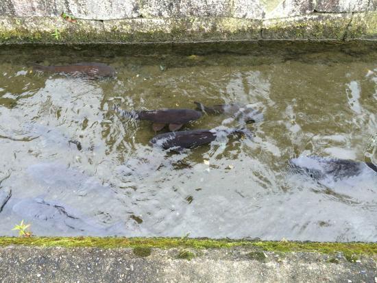 Harie Shozu no Kabata: この鯉が水をきれいに保ってくれます。