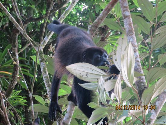 Pachira Lodge: howler monkey feeding