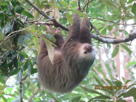 Pachira Lodge: two toed sloth
