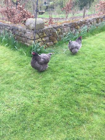 Ringehay Farm Holiday Cottages: Great to have the chickens wandering around.