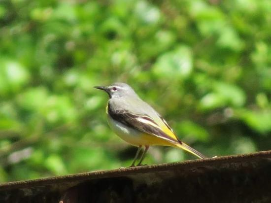 Les Fontaines d'Escot: wagtail