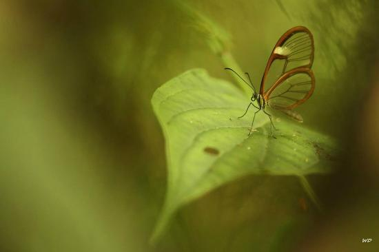 Talamanca Reserve: Transparent butterfly