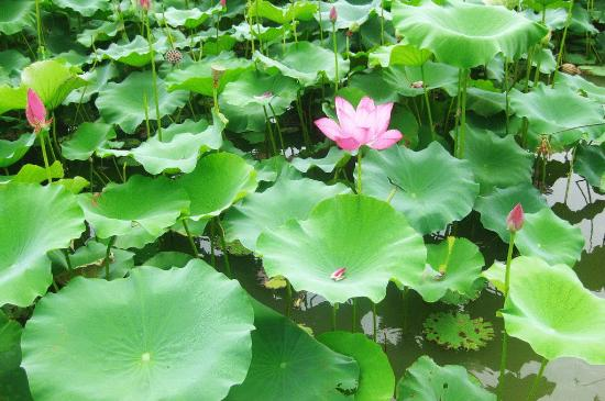 There are many lotus flower field here in surin picture of surin surin province thailand there are many lotus flower field here in surin mightylinksfo