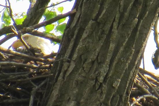 BentRiver Outfitter : Eagle sitting on the nest