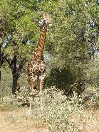 Lower Sabie Restcamp: Alweer en giraffe