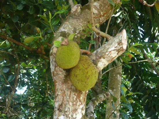 Rio Claro, Kosta Rika: Jackfruit