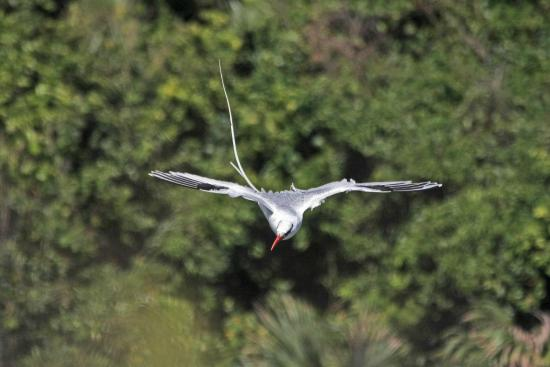 peter cox wildlife tours little tobago island tobago redbilled tropicbird