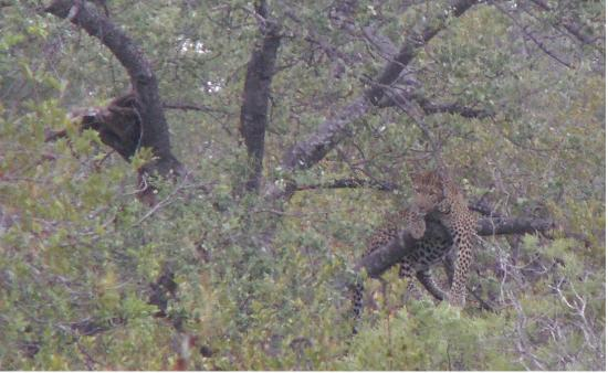 Greenfire Game Lodge: Leopard with kill
