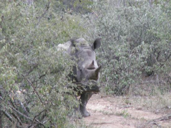 Greenfire Game Lodge: White Rhino