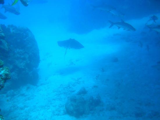 Happy Fish Divers : Manta Ray in flight
