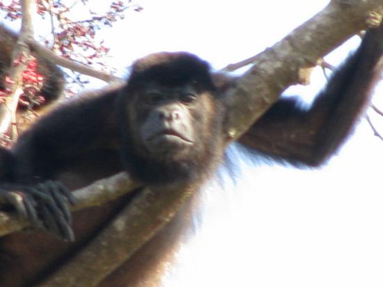 Villa Tortuga: A howler monkey just hanging around...