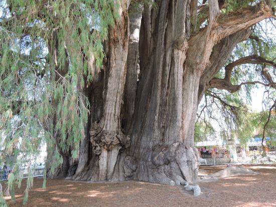 Picture of tule tree santa maria del tule