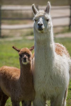 Estancia El Cuadro: Alpacas of Estancia