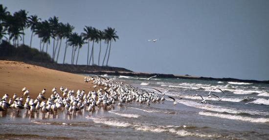 Tarkarli, India: Flock of migratory birds at Deb Bagh beach