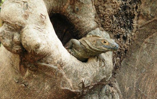 Iguana Inn: local resident