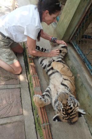 Gets em every time picture of tiger kingdom mae rim tripadvisor