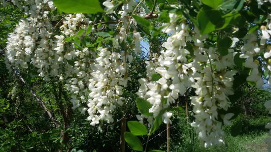 Vicchio, อิตาลี: acacia in fiore