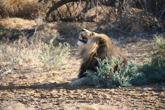 Inverdoorn Game Reserve: Unhappy Lion!