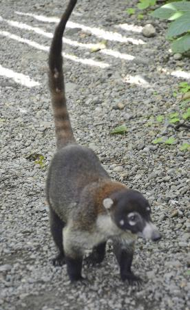 Nuevo Arenal, Costa Rica: Saw this guy along the road - so cute!
