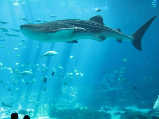 Georgia Aquarium : Tubarao