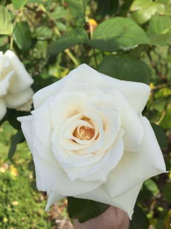Stockman's Ridge Wines: The roses in the garden are in full bloom