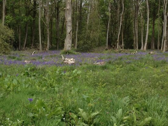 Wiltshire Walks: Bluebell woods around Great Bedwyn