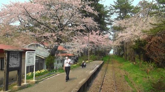 Ashino Park: 津軽鉄道の芦野公園駅と桜(津軽鉄道車内より)