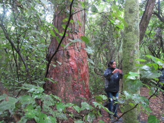 Maori Tours Kaikoura: Rebecca with an old tree growing when tribes came to Kaikoura