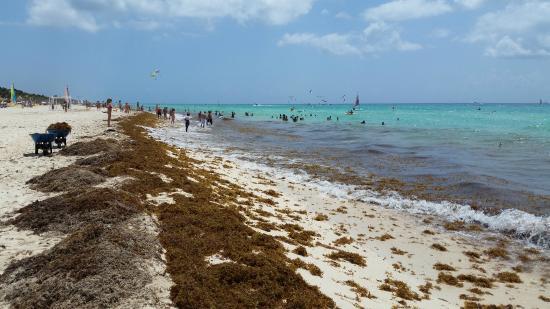 Sandos Playacar Beach Resort: Beach. Lots of seaweed!