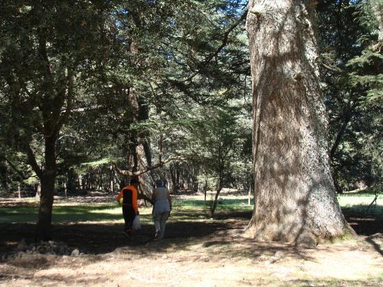 أزرو, المغرب: Forêt de cèdres d'Azrou