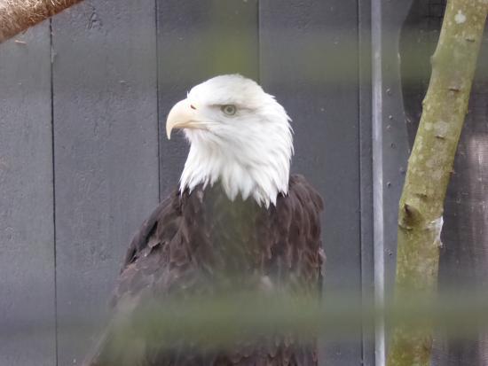 Quogue, estado de Nueva York: Bald eagle