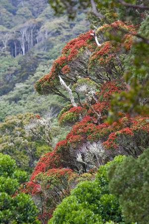 Upper Hutt, Neuseeland: Rata in the Pakuratahi Forest