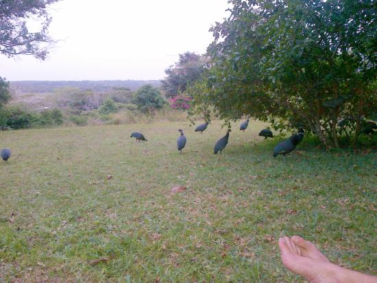 St. Lucia Wilds: Guineafowls visit while we wait for sunset on loungers at lake side