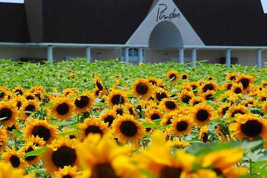 Peconic, État de New York : Sunflower field