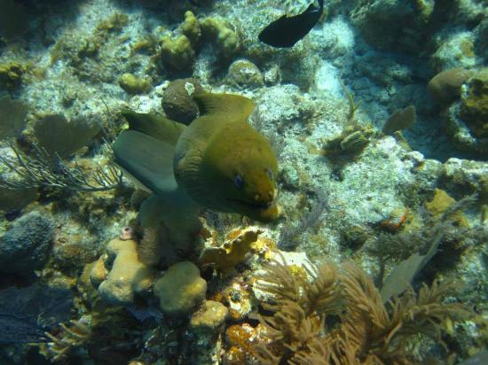 Itza Lodge : Curious eel at one of the popular snorkel/dive sites a short boatride from Itza!