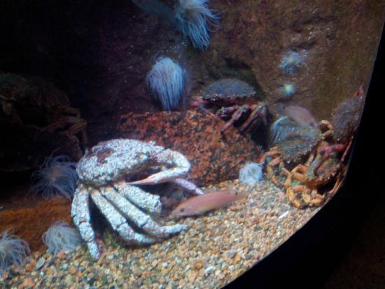 Aquarium Marin De Tregastel : Araignées de mer