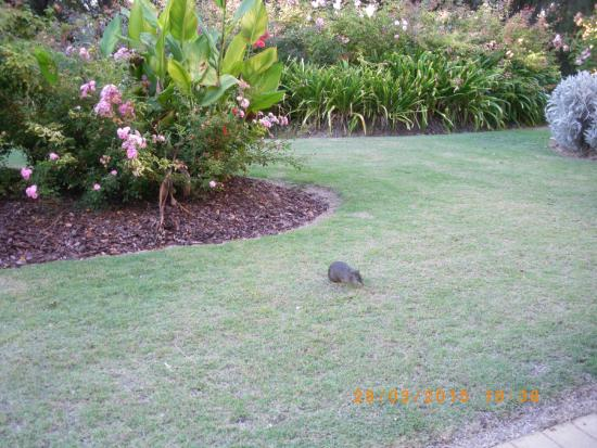 Ramada Resort Dunsborough : beautiful gardens outside our room and local resident