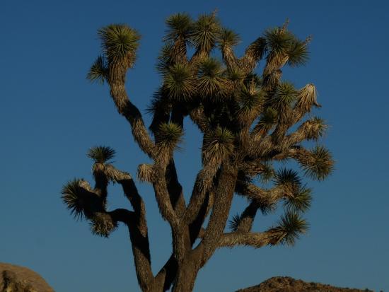Desert Institute at Joshua Tree National Park: Joshua a árvores da vida no deseerto