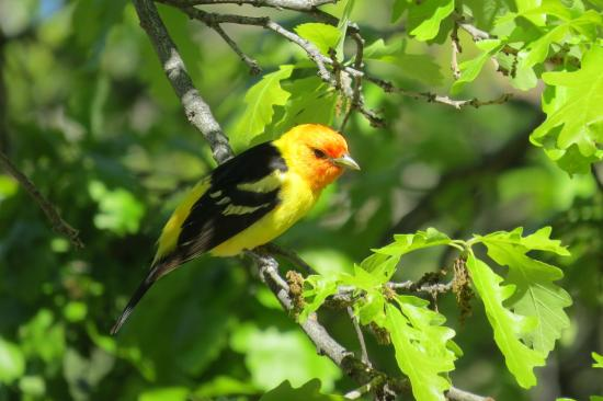 Willow Springs Cabins Bed and Breakfast: Western Tanager