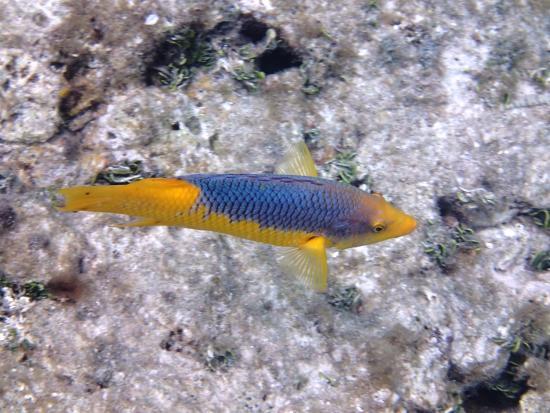 Zatoka Simpson, Sint Maarten: pretty fish