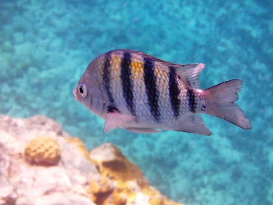 Zatoka Simpson, Sint Maarten: Sargeant Fish