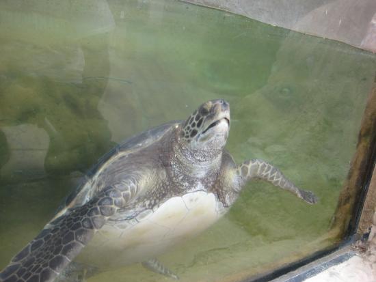 Living Coast Discovery Center: Sea Turtles