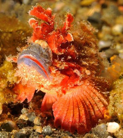 Divers Lodge Lembeh: Scorpionfish