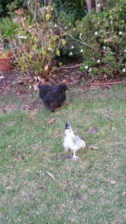 Nippers Cafe : Friendly unusual chickens